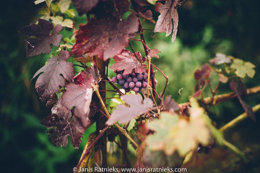 garden grapes England