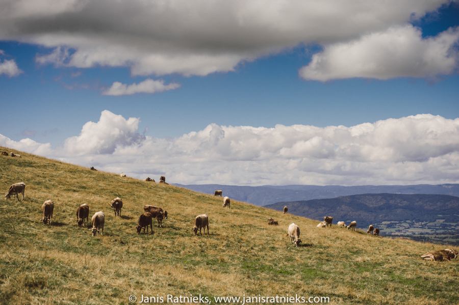 French Alps Milka cows